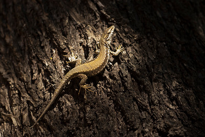 Podarcis vaucheri (female) on an almond tree (Jerez)