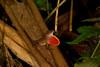 Norops humilis en márgenes del río Sarapiquí
