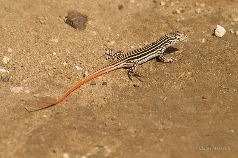 Juvenil de Lagartija colirroja en arenales costeros gaditanos (Acanthodactylus erythrurus)