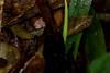 Tamagá (Porthidium cf nasutum)