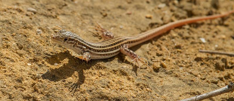 Lagartija colirroja en arenales costeros gaditanos (Acanthodactylus erythrurus). Comportamiento con suelo muy caliente.