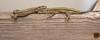 Hembra y macho de lagartija andaluza (Podarcia vaucheri)