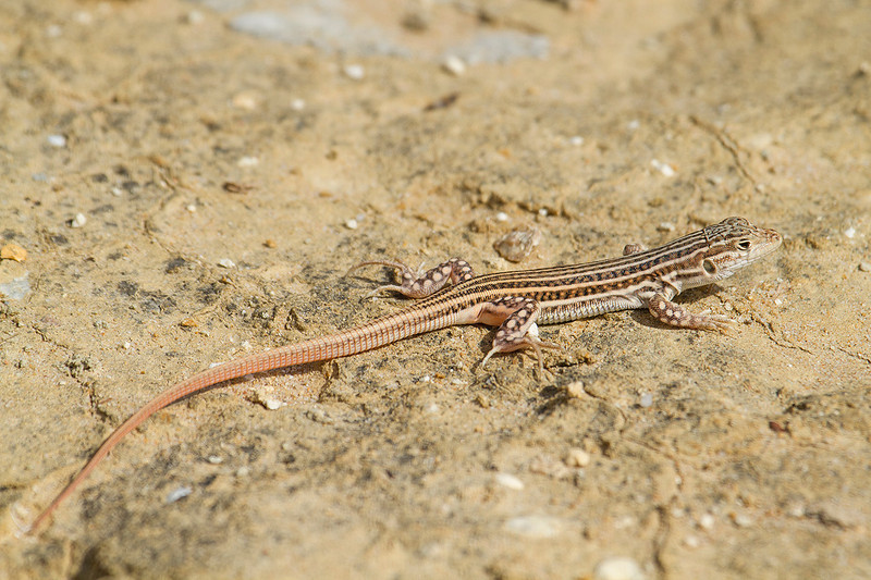 Lagartija colirroja en arenales costeros gaditanos (Acanthodactylus erythrurus)