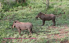 Two warthogs on side of hill.