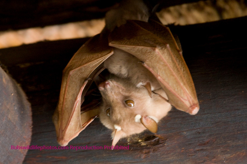 This bat has a baby wrapped in his wings. This bat and many of his friends hangs from the roof of the outdoor eating area in the skukuza rest area in the Kruger Park. This is a fruit bat.