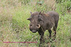 Good look at male warthog. Note the 4 warts. Taken in Kruger near Skukuza.