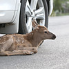 fawn car wide web