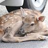 elk fawn car