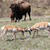 battling-pronghorn-web