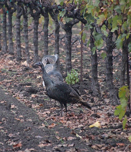 Wild Turkeys Yountville California