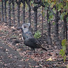 Wild Turkeys Yountville California