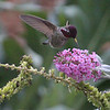 Hummingbird - Yountville CA