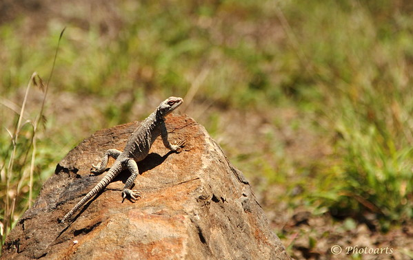 """Gilan Lizard"""