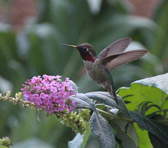 Hummingbird - Yountville CA