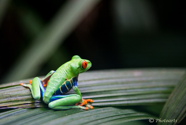 """Red-eyed Leaf Frog"""