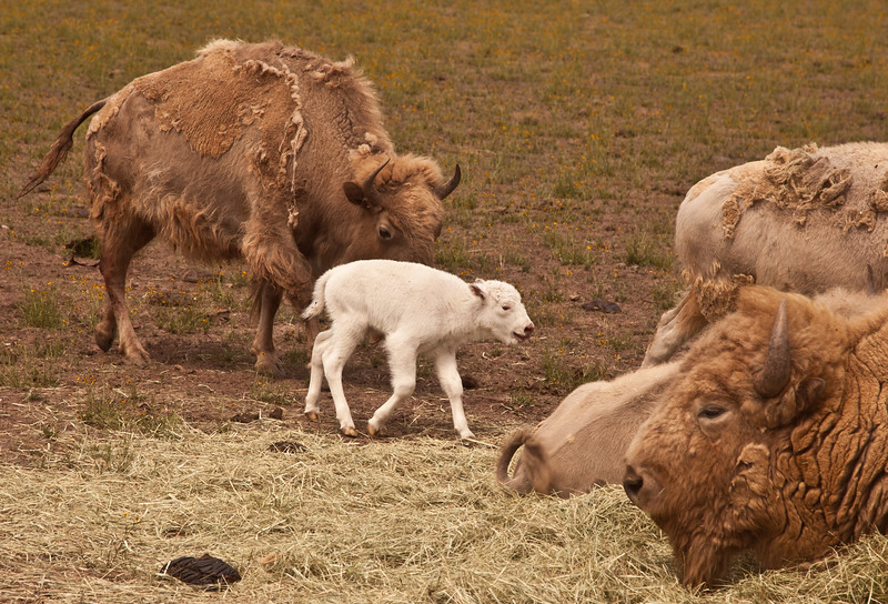 A baby white bison 1  hour old being introduced to the dad, lower right.  The proud and very attentive mother is behind the baby.