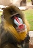 A very friendly Mandrill with soulful eyes.  They are the most colorful primate, and come from West Central Africa.