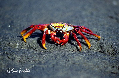 Sally Light Footed Crab Sally Light Footed Crab at Point Espinosa, Fernandina Island, Galapagos