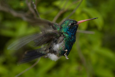 Hummer just about to hum. About 1/200 of a second later, he was out of frame. I never did get a decent flight photo. The hummingbird aviary at Sonora Desert Museum outside of Tucson is well worth a visit if you're out that way.