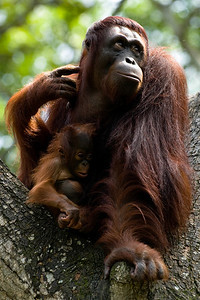 The more I shoot them, the more I like great apes. This cutie and his mum were at Singapore Zoo.