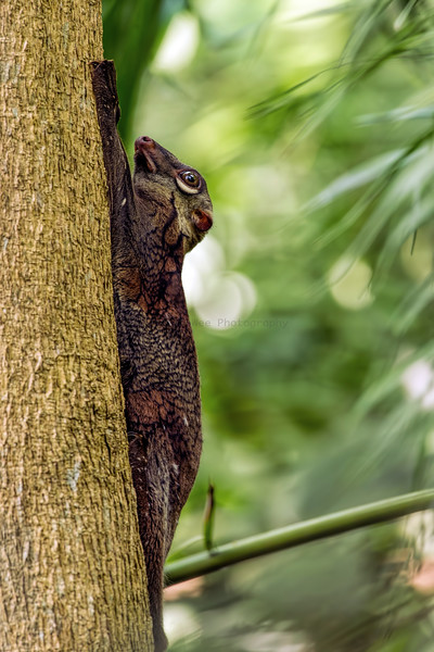 Flying Lemur aka Malayan Colugo