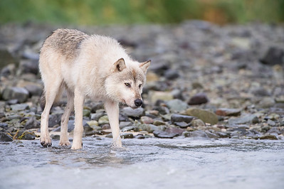 Alaskan Gray Wolf - Looking for Salmon