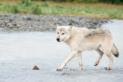 Gray wolf in Geographic Harbor, Katmai National Park Alaska