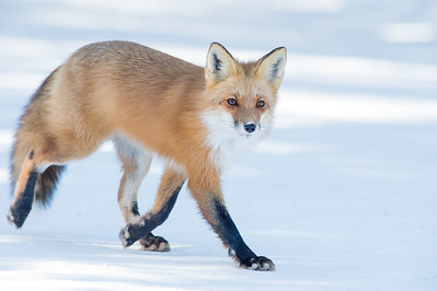 Taking a stroll - Red Fox