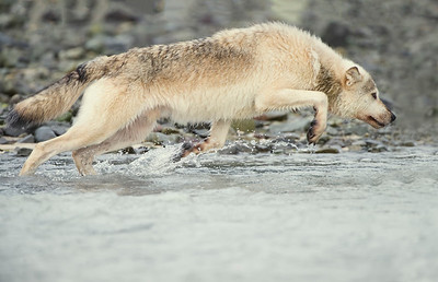 Alaskan Gray Wolf - Lunging for Salmon
