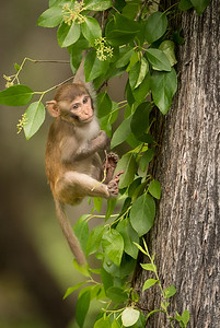 Hanging in the Trees = Baby Rhesus Macaque Monkey