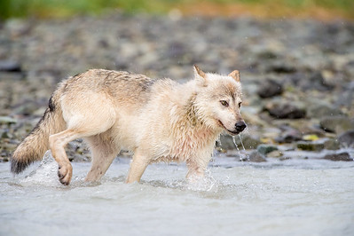 Hunting  - Alaskan Gray Wolf hunting for salmon