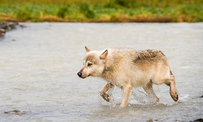 Wolf Hunting for Salmon