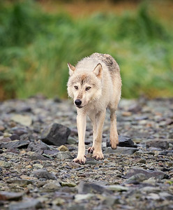 Alaskan Gray Wolf - Geographic Harbor, Alaska