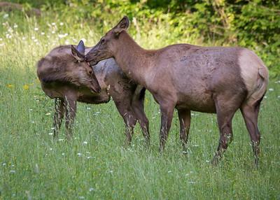Elk - Mom & her baby