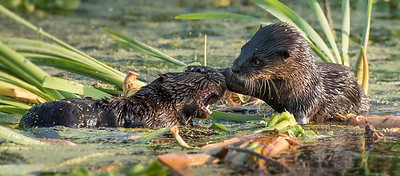 Fighting Otters