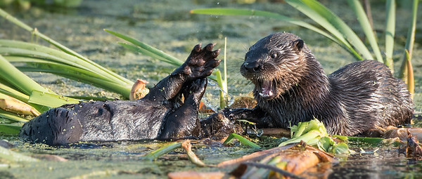 Otter Siblings being playful