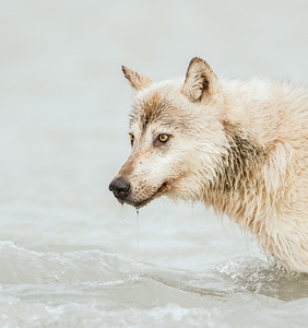 Alaskan Gray Wolf in the stream