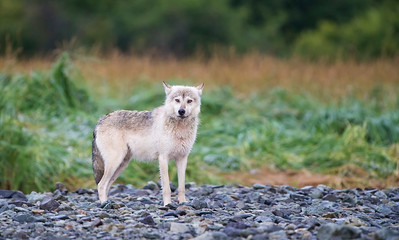 Alaskan Gray Wolf - Geographic Harbor, Katmai National Park