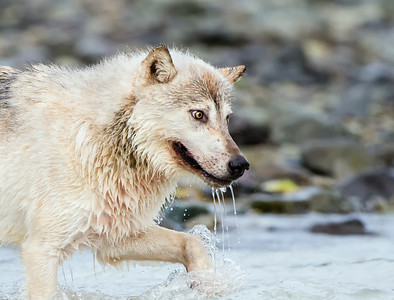 Intensity - Alaskan Gray Wolf Hunting for Salmon