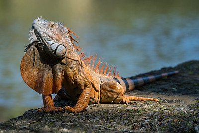Green Iguana Displaying