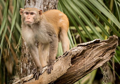 Dominant Male Rhesus Monkey