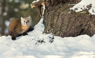 Pine Marten - Algonquin Provincial Park, Ontario Canada