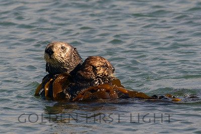 Southern Sea Otter with Pup, Morro Bay California
