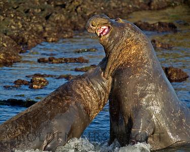 Northern Elephant Seals