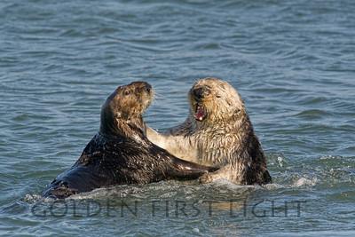 Southern Sea Otters, Morro Bay California