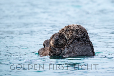 Southern Sea Otter and Pup, Morro Bay California