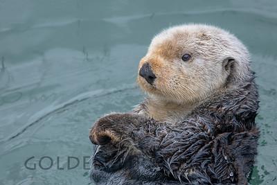 Southern Sea Otter, Morro Bay