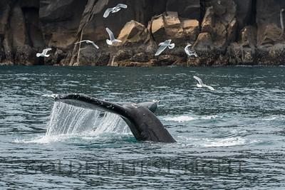 Humpback Whale and Black-legged Kittiwake