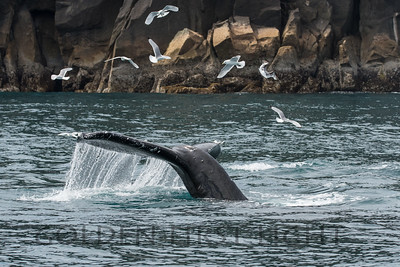 Humpback Whale and Black-legged Kittiwake