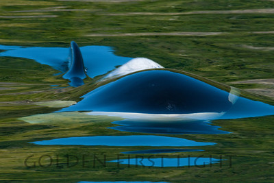 Orca Surfacing, Vancouver Island BC